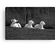 Three lambs Canvas Print