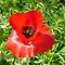 Luscious Red Poppy with a Heart by Ann Warrenton
