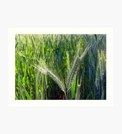 Barley crop Art Print