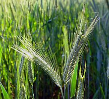 Barley crop by iOpeners
