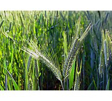Barley crop Photographic Print