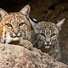 Two Bobcats by Linda Gregory