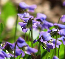 Woodland Violets by AngieDavies