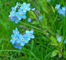 Forget-me-not by Paola Svensson