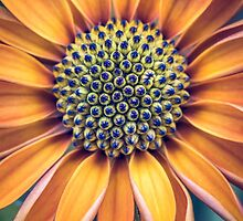 Osteospermum by alan shapiro