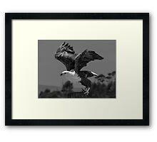 Fish Eagle (Haliaeetus vocifer) Framed Print