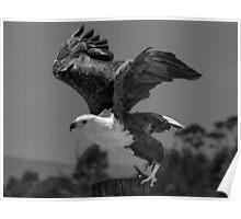 Fish Eagle (Haliaeetus vocifer) Poster