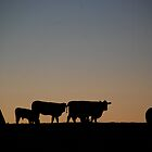 Cows. by dougie1