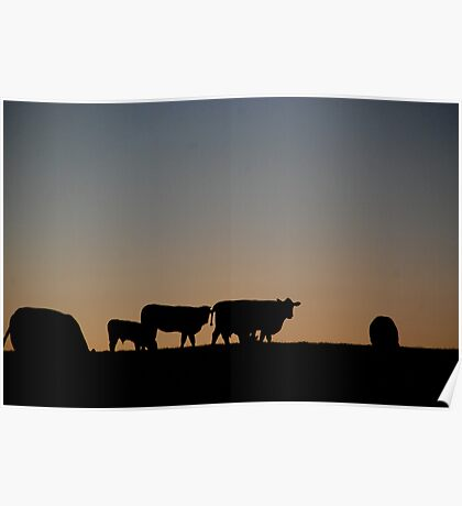 Cows. Poster