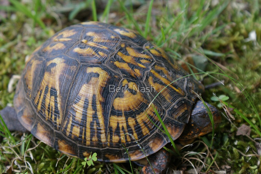 Box Turtle by Berk Nash