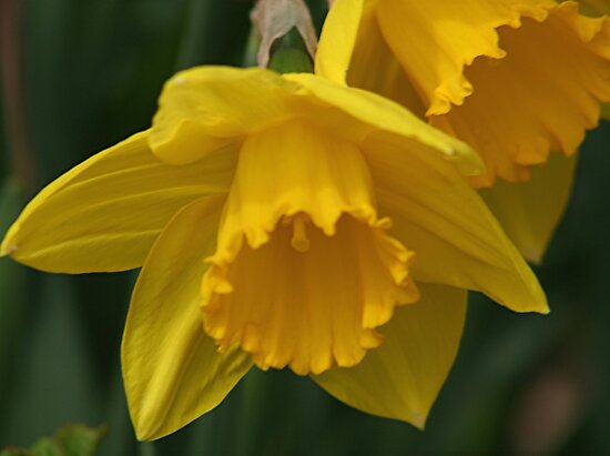 Daffodil Macro by Stephen Thomas