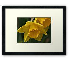 Daffodil Macro Framed Print