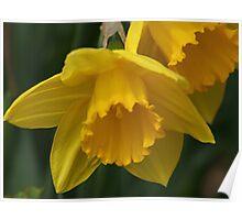Daffodil Macro Poster