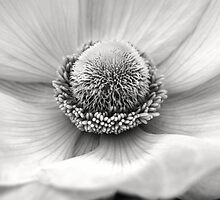 Anemone in black and white by alan shapiro