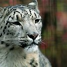 Snow Leopard by Stephanie B
