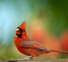 Male Cardinal by Bonnie T.  Barry