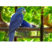 Blue Parrot Photographic Print