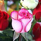 Pink Rose by June Holbrook