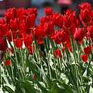 Red Tulips by Rachael D