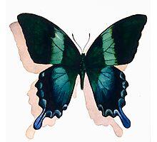 """Papilio blumei"" Watercolor Photographic Print"