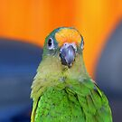 Delta - Peach-Fronted Conure - NZ by AndreaEL