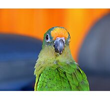 Delta - Peach-Fronted Conure - NZ Photographic Print
