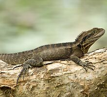 Eastern Water Dragon by Michael Howard