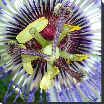 Passion Flower Close Up by taiche