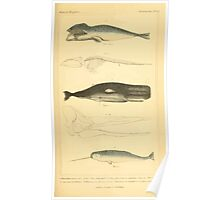 The Animal Kingdom by Georges Cuvier, PA Latreille, and Henry McMurtrie 1834 640 - Mammalia Mammals Poster