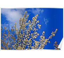White Flower Blossoms On Blue Poster