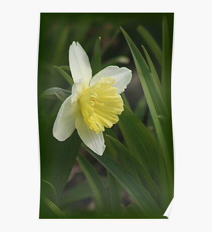 Beautiful Daffodil Poster