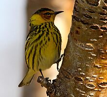 Cape May Warbler by Vickie Emms