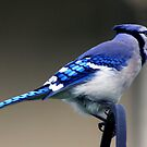 *BLUE JAY* by Van Coleman