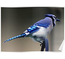 *BLUE JAY* Poster