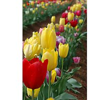 Tulips in full bloom  Photographic Print