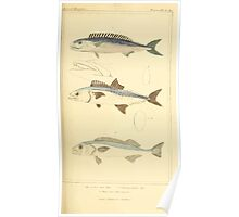 The Animal Kingdom by Georges Cuvier, PA Latreille, and Henry McMurtrie 1834  135 - Pisces Fish Poster