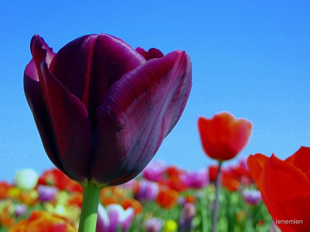 A Proud Purple Tulip by ienemien