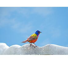 Elusive Mr. Painted Bunting Photographic Print
