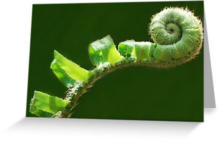 Fiddlehead by Laurie Minor