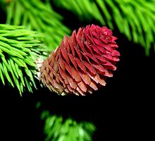 Baby Pine Cone by BarbL