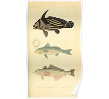 The Animal Kingdom by Georges Cuvier, PA Latreille, and Henry McMurtrie 1834  090 - Pisces Fish Poster
