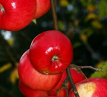 Apples by CaseyConnor
