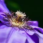 Violet Clematis by Modified
