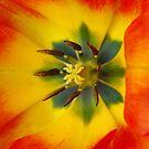 Tulip #1 by MarianaEwa