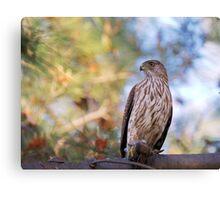 Cooper's Hawk with Prey Canvas Print