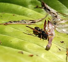 Wasp on a Leaf by Robert Bruce Anderson