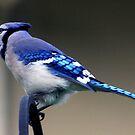 *BLUE JAY II* by Van Coleman