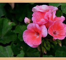geranium by Muhammad Tariq Mahmood Ahmad