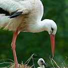 mother and baby stork by peterwey
