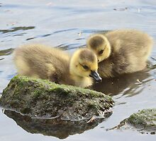 Canada Goslings by Carl Olsen
